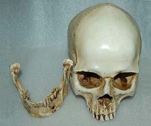 Cráneo humano de resina